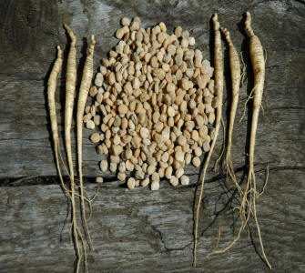 Ginseng seeds and ginseng rootlets for sale stratified and