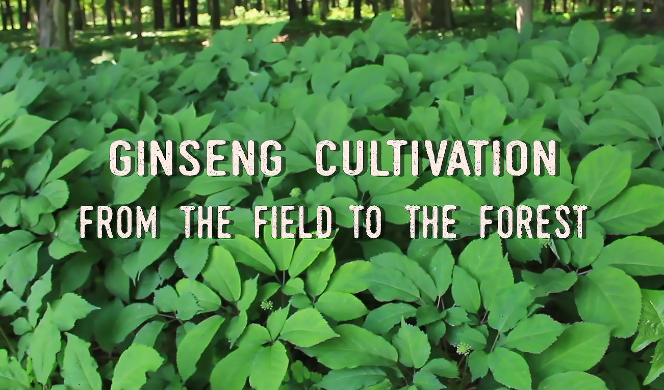 how to grow ginseng root