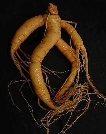 Ginseng Man Root